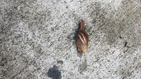 歩道を歩くカタツムリ